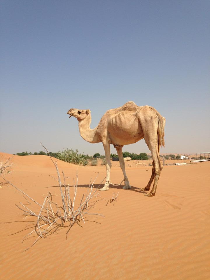 Kameel woestijn dubai Veldkamp produkties